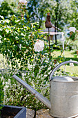 White Lavender And Rose 'the Generous Gardener' Next To Watering Can