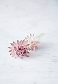 Delicate astrantia flower on marble surface
