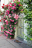 Lush Climbing Roses On The House Wall