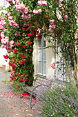 Climbing Roses Surround Windows On The Wall Of The House