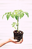 Hand Holds Tomato Plant With Root Ball
