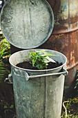 Old Garbage Bin Planted With Sweet Potato