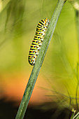 Swallowtail caterpillar (Papilio machaon) climbing up a plant stem