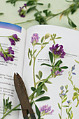 Botanical field guide open to description of purple-flowering alfalfa (Medicago sativa)