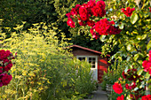 Red shed on summery allotment with red roses flowering in foreground