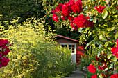 Sommerlicher Kleingarten mit rotem Häuschen, im Vordergrund blühende rote Rosen
