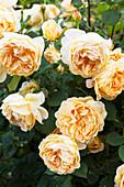 Cremefarbene Rosen im Garten
