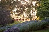 Lavendel blüht in gepflegtem Landschaftsgarten
