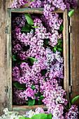 Violetter Flieder in einer Holzkiste (Aufsicht)