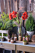Christmas Decoration With Amaryllis, Fir Branches And Cones