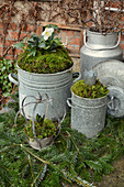Old Zinc Pots With Christmas Rose And Moss