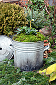 Old Zinc Pot With Christmas Rose And Moss