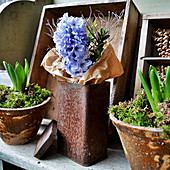 Hyacinth Flower With Buxus In Rusty Tin Can