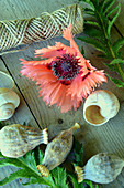 Blossom Of Turkish Poppy 'pink Ruffles' With Seed Pods And Snail Shell