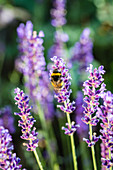 Bumblebee On Lavender Flowers