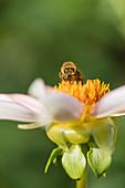 Bee On Blossom Of Dahlia Honka