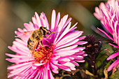 Bee On A Aster Blossom