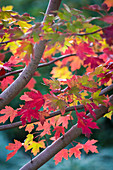 Red maple tree 'Autumn Blaze' (detail)