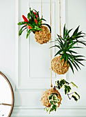 Hanging plants in balls made of natural material