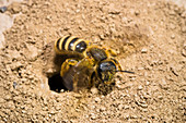 Wild Bee digging nest, Halictus scabiosae, Peloponnese, Greece