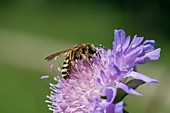 Wild Bee at Knautia flower, Halictus scabiosae, Bavaria, Germany, Europe