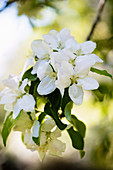 White blooming rhododendron