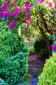 Garden path between boxwood and rhododendron