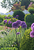 Purple-flowering alliums and box balls in bed