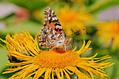 Painted Lady on blossom of Alant