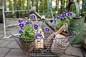 Wire basket with horn violets in clay pots