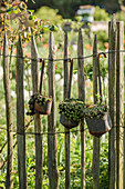 Vessels with houseleek, Dachwurz at the garden fence