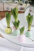Spring arrangement of hyacinths with waxed bulbs