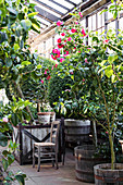 Various varieties of camellia planted in containers in conservatory