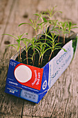 Cosmos seedlings growing in reused Tetra Pak carton