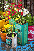 Nemesia, peppers and rosemary growing in tin cans