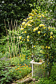 Yellow climbing rose in cottage garden