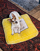Jack Russell Terrier lying on yellow velvet cushion