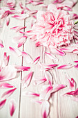 Peony and peony petals on wooden surface