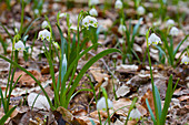 Spring snowflakes in deciduous woodland