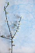 Branch of white cherry blossom