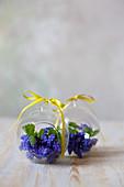 Grape hyacinths in glass spheres