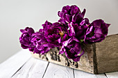 Double tulip 'Purple peony'