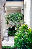 Am Haus angrenzendes Beet mit Agapanthus und Cordyline glauca, mit Buxus-Einfassung