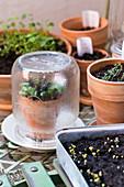 Microgreens kultivieren