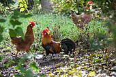 Hens and cockerel in garden