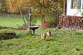Hens in autumnal garden