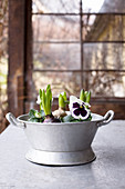Old zinc tub planted with violas and hyacinths