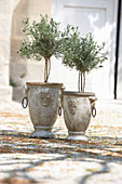 Standard lavender bushes in Mediterranean pots