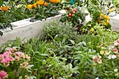 Fresh herbs, tomatoes and flowers growing in DIY raised bed