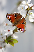 Peacock butterfly on branch of mirabelle plum blossom
